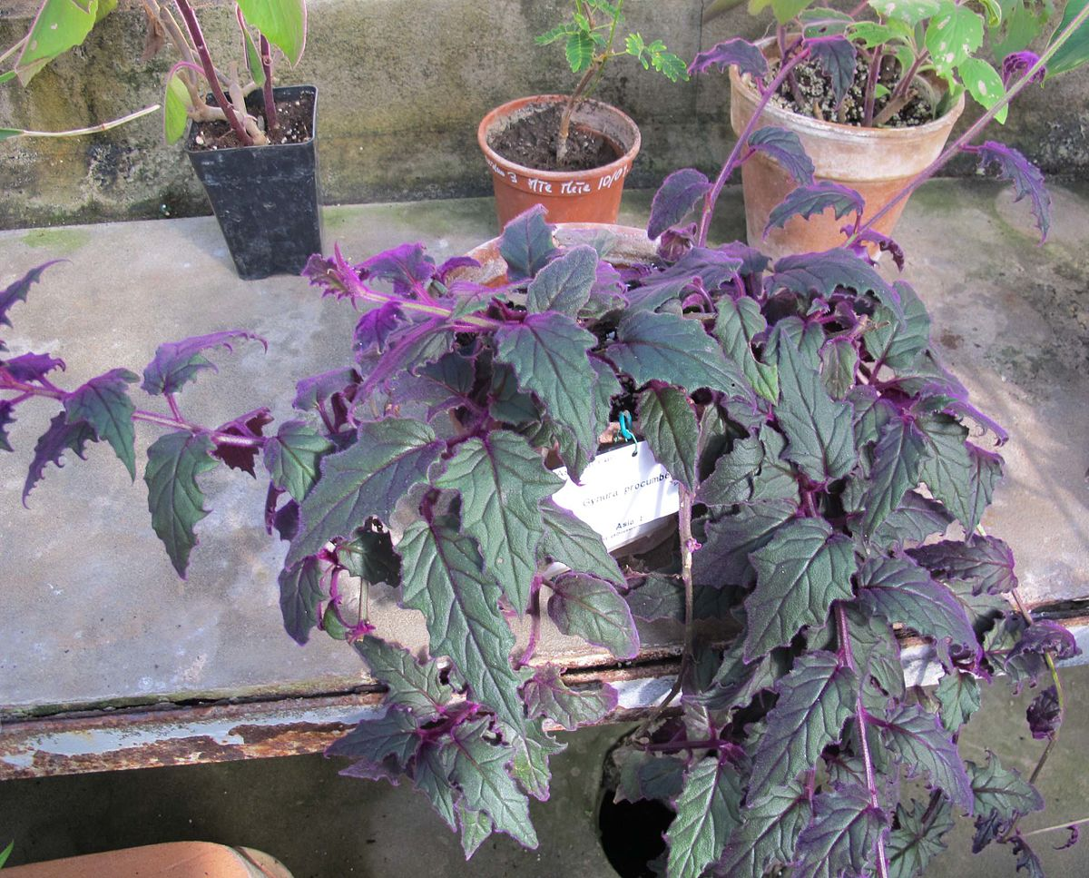 Purple Velvet Plant (Gynura Aurantiaca) - Simple Caring Guide